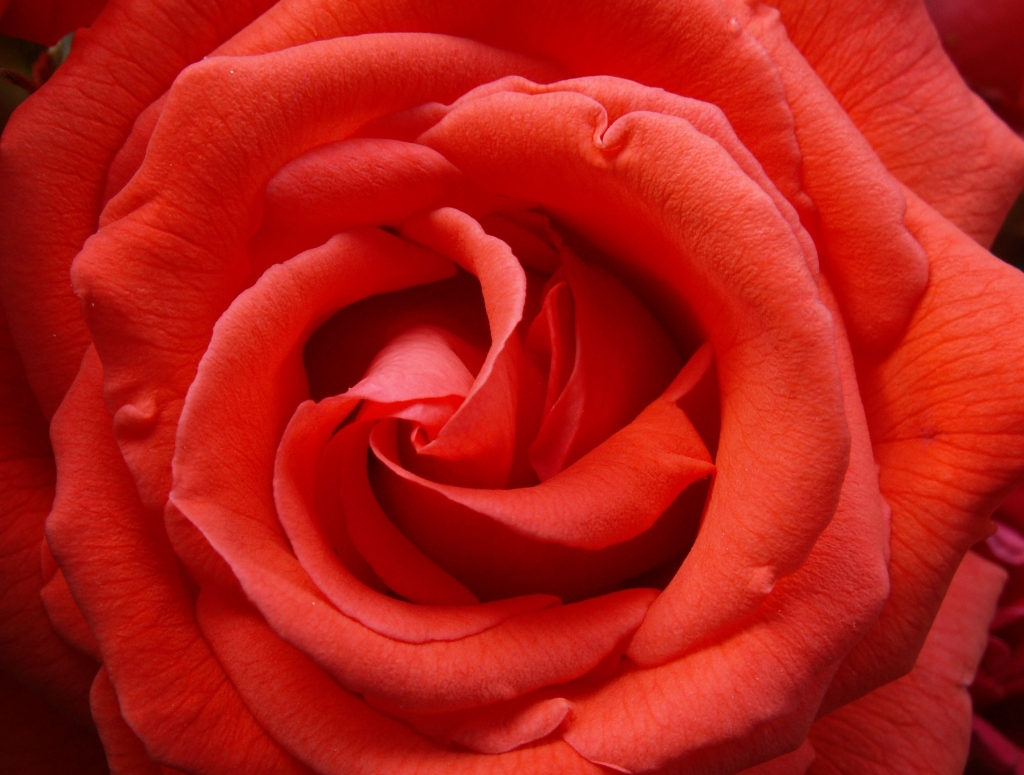 A Beautiful Red Rose